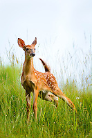 Young White-Tailed deer, Odocoileus virginianus, fawn, Pipestem State Park, West Virginia, U.S.A.