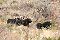 A bachelor group of Bull Moose stands on a hillside.