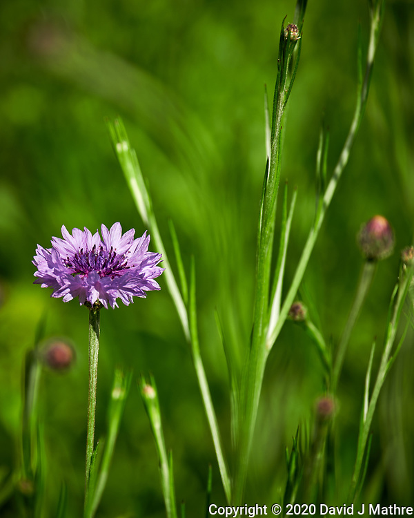 Bachelor Button, Cornflower. Image taken with a Nikon D850 camera and 70-300 mm VR lens.