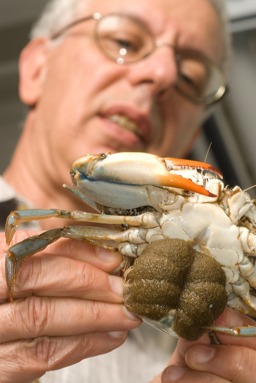 Male holding Crab<br /> <br /> Crab breeding at COMB in Baltimore