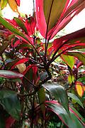 Ti plant, Lyon Arboreteum, Manoa Valley, Honolulu, Oahu, Hawaii