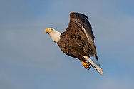 Bald eagle in flight, pitching up after a dive, sky background, © 2005 David A. Ponton