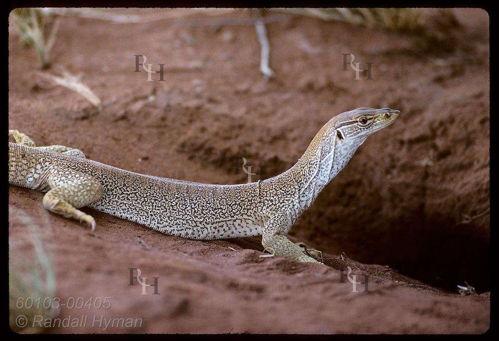 Goanna lizard, nearly one meter long, pauses outside its burrow in the Tanami Desert. Australia