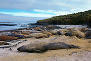 Elephant Seals lying on beach, Sea Lion Island, Falkland Islands