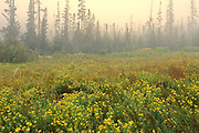 Buffalo bean along the North Shore of Lake Superior in fog<br /> Terrace Bay<br /> Ontario<br /> Canada