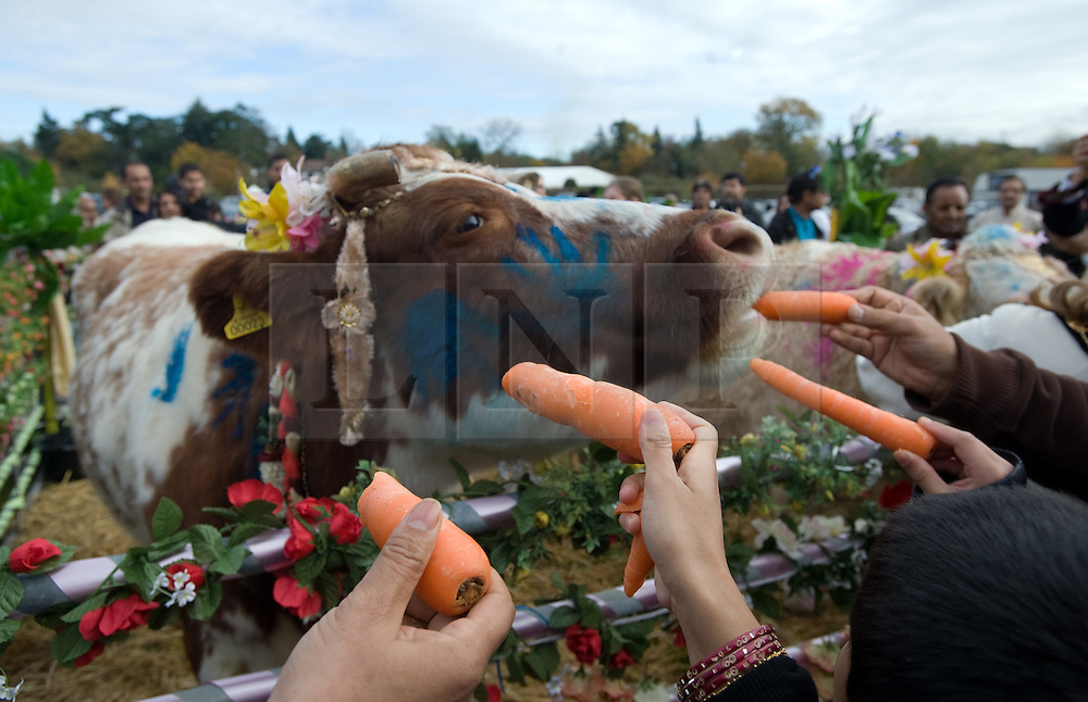 """© under license to London News pictures.  06/11/2010.A Hindu's feeding carrots to painted cows during Celebrations for Diwali, the Hindu new year, at Gokul Centre for Cow Protection and Working Oxen in Aldenham near Watford, Hertfordshire today (Sat). The centre, which was originally donated by George Harrison, is unique in the western world producing """"Ahimsa Milk"""" at a cost of £3 per litre without harm to any living being. The Centre is part of Bhaktivedanta Manor, a Hindu place of worship."""