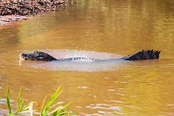 A male caiman (Caiman crocodilus yacare) performing a mating ritual known as the water dance, whereby they try to attract females by rumbling an underwater mating call during mating season, Pantanal, Brasil, South America