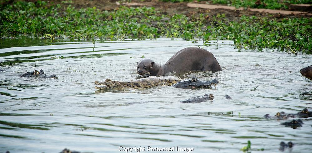 Giant Otter. (Pteronura brasiliensis), araras eco lodge, sao paulo, brasil, Isobel Springett