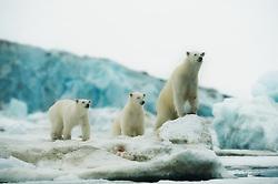 Polar bear (Ursus maritimus) with cubs in Svalbard