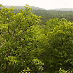 A sugar maple, Acer saccharum, in a northern hardwood forest in Maine's Acadia National Park.