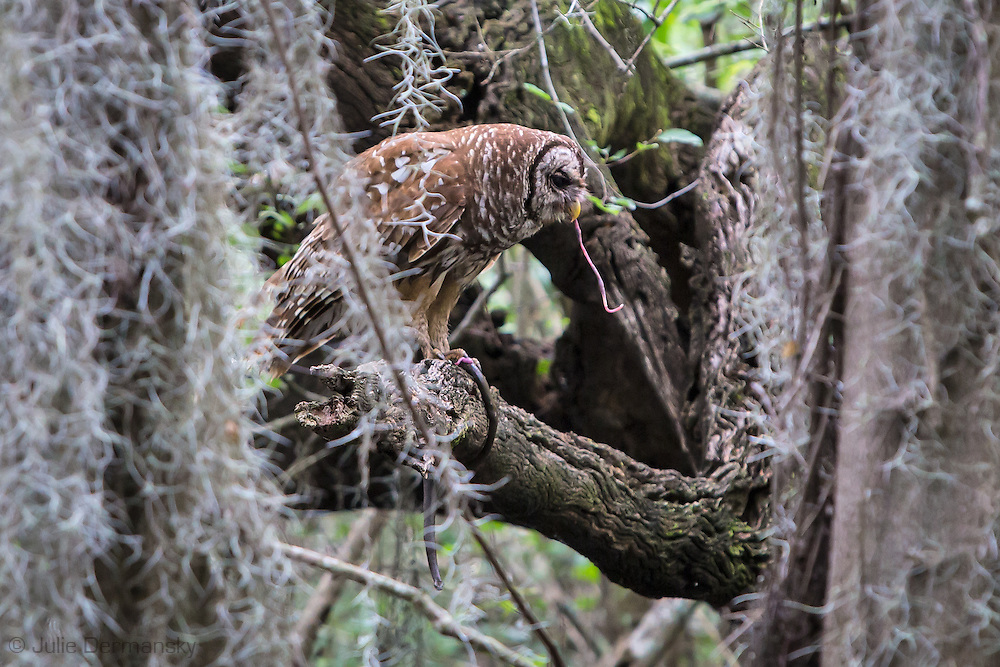 Owl with its prey, a snake,in the Atchafalaya Basin