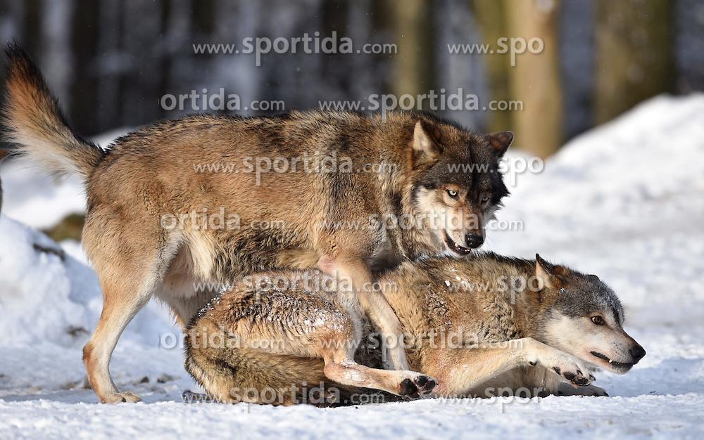 28.12.2014, Wildtierpark, Bad Mergentheim, GER, W&ouml;lfe im Wildtierpark Bad Mergentheim, im Bild Maennlicher Leitwolf, Alphawolf, Zurechtweisung, Rangordnung, Dominanz, Timberwolf, Kanadischer Wolf (Canis lupus occidentalis) im Schnee, captive // Wolves in the Wildtierpark in Bad Mergentheim, Germany on 2014/12/28. EXPA Pictures &copy; 2015, PhotoCredit: EXPA/ Eibner-Pressefoto/ Weber<br /> <br /> *****ATTENTION - OUT of GER*****