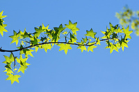 American Sweetgum tree leaves in early spring