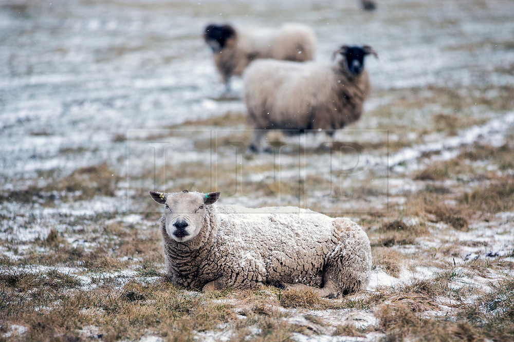 © Licensed to London News Pictures. 26/02/2018. Pickering UK. Snow covered sheep in a field near Pickering in the North Yorkshire Moors as the Beast from the east arrives in the UK this morning. Photo credit: Andrew McCaren/LNP