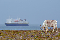 Svalbard Reindeer and the National Geographic Explorer at Russebukta on Edgeoya in Svalbard, Norway.