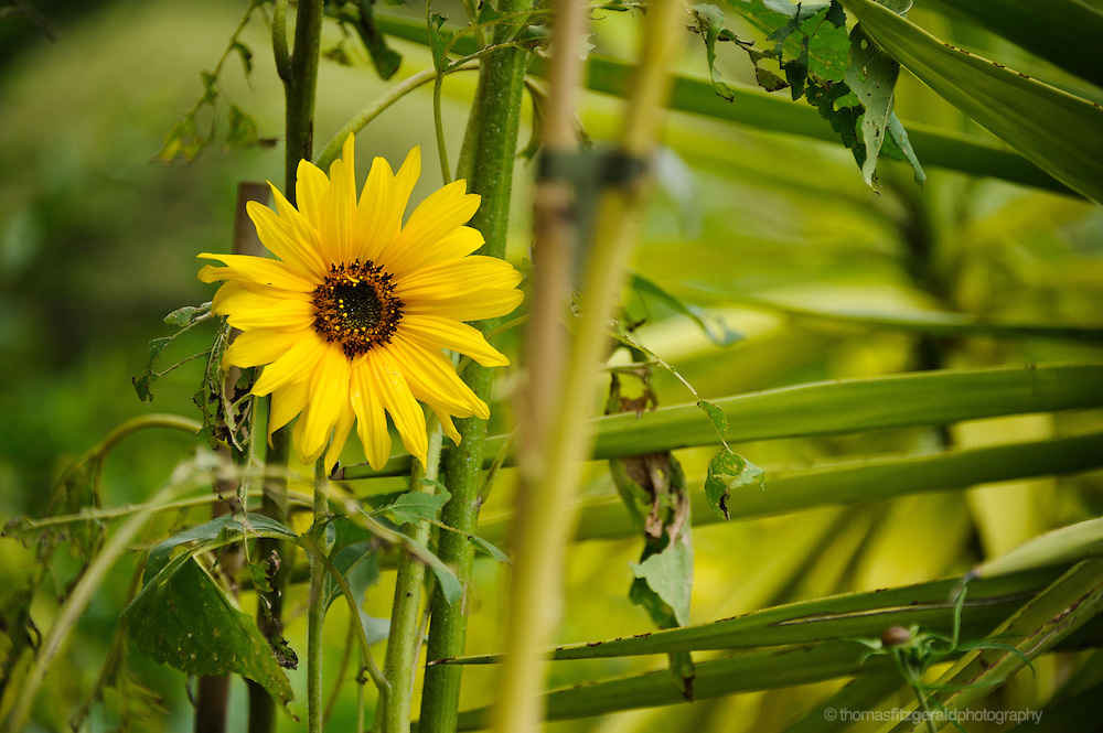 A bright yellow sunflower among the greenery of other plants surrounding it in this summery setting