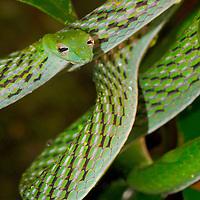 Alberto Carrera, Green Vine Snake, Long-nosed Whip Snake, Ahaetulla nasuta, Sinharaja National Park Rain Forest, Sinharaja Forest Reserve, World Heritage Site, UNESCO, Biosphere Reserve, National Wilderness Area, Sri Lanka, Asia