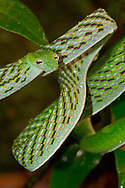 Alberto Carrera, Green Vine Snake, Long-nosed Whip Snake, Ahaetulla nasuta, Sinharaja National Park Rain Forest, Sinharaja Forest Reserve, World Heritage Site, UNESCO, Biosphere Reserve, National Wilderness Area, Sri Lanka, Asia