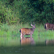 The sambar (Rusa unicolor) is a large deer native to the Indian subcontinent, southern China and Southeast Asia.
