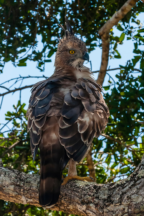 Crested Hawk Eagle, Yala National Park, Southern Province, Sri Lanka.