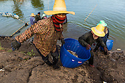 14 MAY 2013 - BANGTATHEN, SAPHUNBURI, THAILAND:     Workers haul shrimp out of a pond in Saphunburi province of Thailand. Early mortality syndrome, better known as EMS -- or Acute Hepatopancreatic Necrosis Syndrome, (AHPNS) as scientist refer to it -- has wiped out millions of shrimp in  Thailand, the leading shrimp exporter in the world. EMS first surfaced in 2009 in China, where farmers noticed that their prawns had begun dying en-masse, without any identifiable cause. By 2011, shrimp farms in China's Hainan, Guangdong, Fujian and Guangxi provinces were suffering losses as great as 80%. Farmers named the disease based on its immediate effect - Early Mortality Syndrome. After China, EMS devastated shrimp farms in Vietnam and Malaysia. The province of Tra Vinh, Vietnam, saw 330 million shrimp die in the month of June 2011 alone. In Malaysia, where EMS first emerged in 2010, commercial prawn production declined by 42%. EMS hit Thailand in early 2013. As a result of early die offs in Thailand many farmers left their shrimp ponds empty and stores that sell shrimp farm supplies have reported up to 80% drop in business as shrimp farm owners have cut back on buying.       PHOTO BY JACK KURTZ