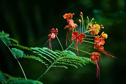 Pride of Barbados tree, caesalpinia pulcherrima #4