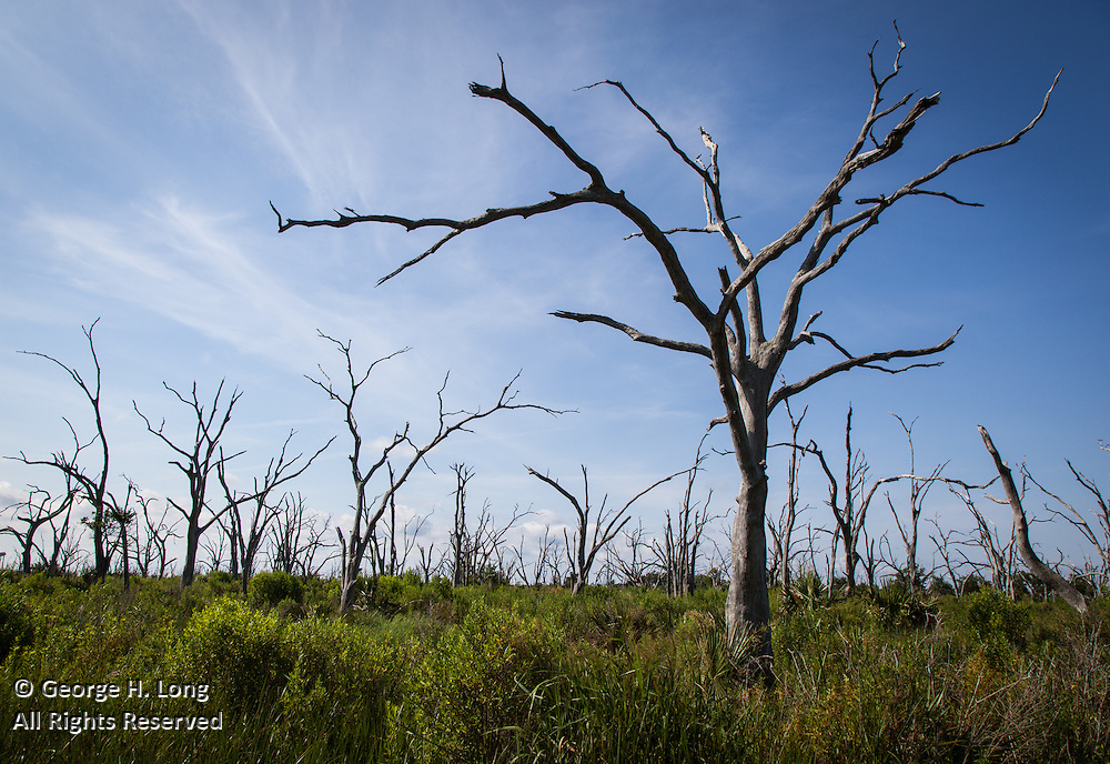 trees killed by saltwater intrusion along Highway 46 near Shell Beach, Louisiana