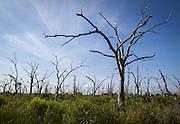 trees killed by saltwater intrusion along Highway 46 near Shell Beach, Louisiana