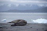 Elephant seals, Ainsworth Bay, Patagonia, Chile