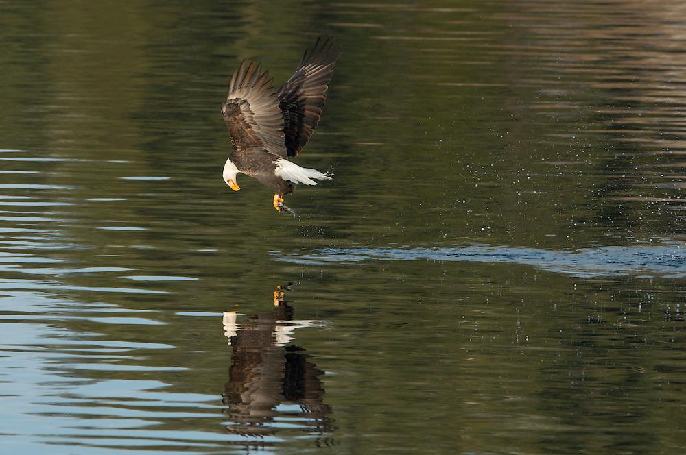 A bald eagle (Haliaeetus leucocephalus) looks downward to see if it caught a kokanee salmon during the spawn, Idaho