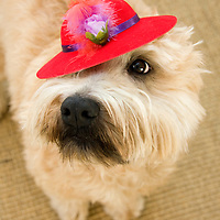 Soft Coated Wheaten Terrier wearing her finest red hat. A wanna be member of the Red Hat Society.