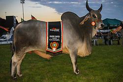 Grande Campeao da raça Guzerá 38ª Expointer, que ocorrerá entre 29 de agosto e 06 de setembro de 2015 no Parque de Exposições Assis Brasil, em Esteio. FOTO: Vilmar da Rosa/ Agência Preview