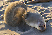 A northern elephant seal (Mirounga angustirostris) flips sand onto her back on the beach at the Piedras Blancas Elephant Seal Rookery near San Simeon, California. Elephant seals typically spend 9 months at sea, coming to shore only to give birth and mate, and researchers believe flipping sand onto their backs may help regulate their body temperatures while on shore. Elephant seals are named for the long snouts that male seals develop. The Piedras Blancas Elephant Seal Rookery is part of the Piedras Blancas State Marine Reserve and Marine Conservation Area, managed by California.