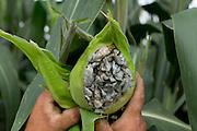Huitlacoche is corn smut and is caused by a fungus. Huitlacoche is eaten in a number of mexican dishes. / El huitlacoche es originado por un hongo que ataca al maíz, es comestible y se prepara en varios platillos.