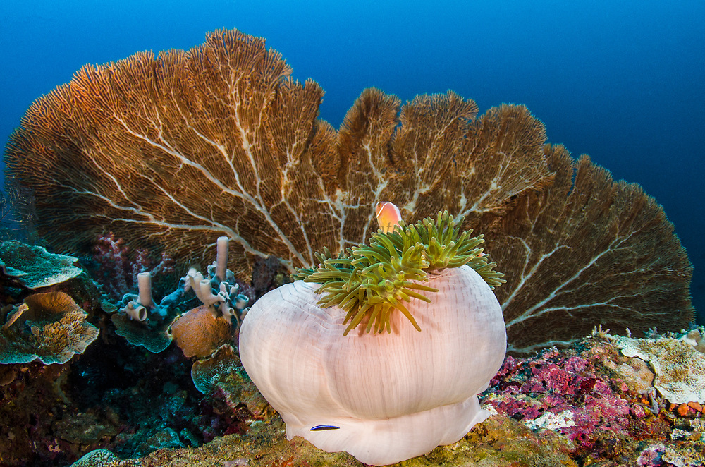 Pink Anemonefish (Amphiprion perideraion) &amp; Magnificent Sea Anemone (Heteractis magnifica)<br /> Raja Ampat<br /> West Papua<br /> Indonesia