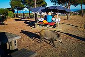 Porc Senglar - Wild Boar, Parc Natural de Collserola