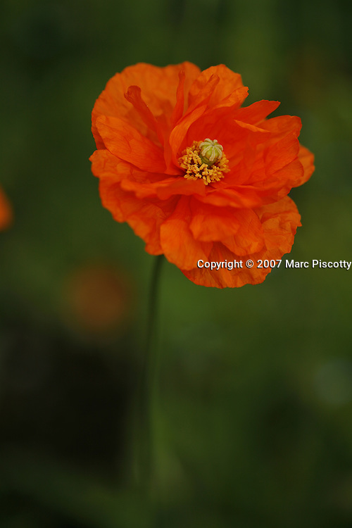SHOT 5/21/2007 and 5/22/2007 - Images of an orange poppy at the VanDusen Botanical Gardens in Vancouver, British Columbia Canada. A poppy is any of a number of showy flowers, typically with one per stem, belonging to the poppy family. They include a number of attractive wildflower species with showy flowers found growing singularly or in large groups, many species are also grown in gardens. This spectacular 22-hectare (55-acre) garden in the heart of Vancouver has matured into a botanical garden of international stature since opening to the public in 1975. The mild Vancouver climate allows the cultivation of an outstanding plant collection which is spectacular any time of the year. VanDusen boasts over 255,000 plants representing more than 7,300 taxa from around the world. Our plant collections represent ecosystems that range from tropical South Africa, to the Himalayas, to the Canadian Arctic, as well as plants native to our own Pacific Northwest..(Photo by Marc Piscotty © 2007)