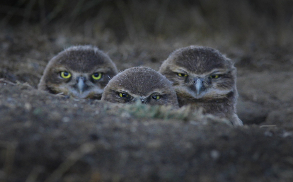 Curious burrowing owls peek over at the Wildhorse Golf Course. A statewide effort is going on to count burrowing owls, a species of concern because so much land is being developed. One of the best areas remaining is Wildhorse Golf Course, where students have built holes for the owls. The owls congregating at several nest sites on course.