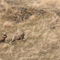 bighorn rams chasing uwe during rut wild rocky mountain big horn sheep