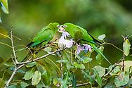 Cuban Parakeets  (Psittacara euops) feeding. Zapata, Cuba