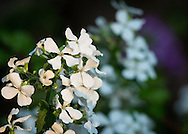 Lunaria, or money plant, is a biennial.  The white form is less common than the purple.