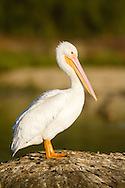 An american white pelican stands alone atop a small island in a pond.