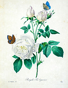 19th-century hand painted Engraving illustration of a Bengal rose (Rosa chinensis var. semperflorens) [as Rosa bengalensis] flower with butterflies , by Pierre-Joseph Redoute. Published in Choix Des Plus Belles Fleurs, Paris (1827). by Redouté, Pierre Joseph, 1759-1840.; Chapuis, Jean Baptiste.; Ernest Panckoucke.; Langois, Dr.; Bessin, R.; Victor, fl. ca. 1820-1850.