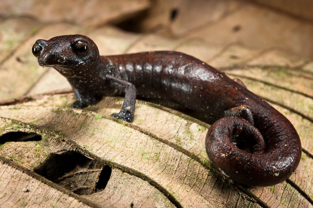 Ecuador Mushroomtongue Salamander (Bolitoglossa equatoriana)<br /> Yasuni National Park, Amazon Rainforest<br /> ECUADOR. South America<br /> HABITAT & RANGE: Subtropical or tropical moist lowland forests of Colombia and Ecuador. Threatened by habitat loss.