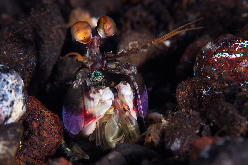 INDONESIA. Tulamben, Bali. May 29th, 2013.  A species of Mantis Shrimp (fam. stomatopoda) sits atop it's burrow waiting for potential prey.