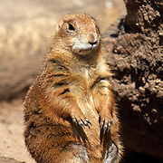 A Black-tailed Prairie Dog, Cynomys ludovicianus, standing outside its burrow. Bergen County Zoo, Paramus, New Jersey, USA