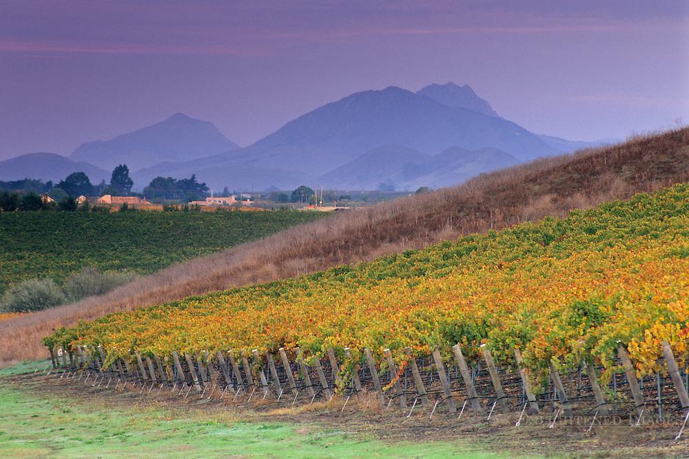 Vineyards in fall, Edna Valley, San Luis Obispo County, California