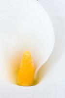 Calla Lily (Zantedeschia aethiopica)