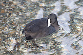 Australian Coot Pictures - Photos