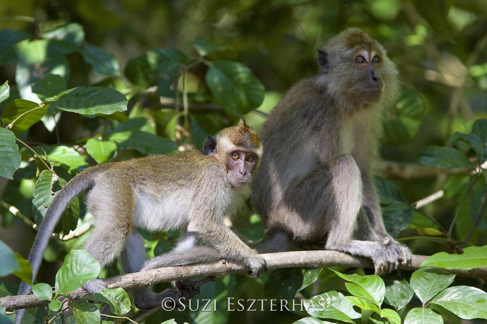Long-tailed macaque<br /> Macaca fascicularis<br /> Female and juvenile<br /> Kinabatangan River, Malaysia